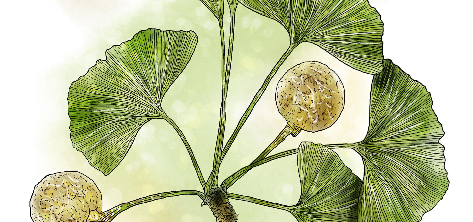 Heilpflanzen_Ginkgo