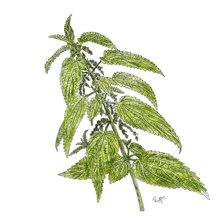 Heilpflanze, Brennnessel